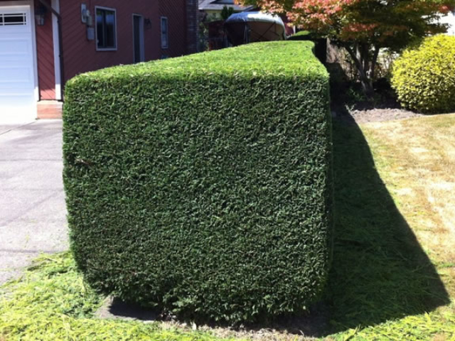 Hedge Trimming After Photo